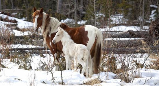 Pinto mare and a white foal in northern Alberta — DREAMSTIME Photo